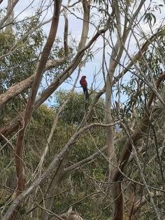 En inte så bra bild på en av fåglarna vi såg